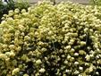 季節のはな・とり‐21‐ モッコウバラ