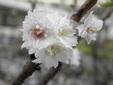 <花鳥風月・248>ジュウガツザクラ(十月桜)
