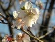 <花鳥風月・251>フユザクラ(冬桜)