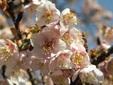 季節のはな・とり‐3‐ カンザクラ(寒桜)