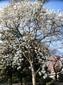 季節のはな・とり‐12‐ ハクモクレン