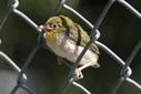 <花鳥風月・268>メジロの幼鳥