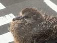 <花鳥風月・286>キジバトの幼鳥
