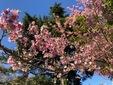 <花鳥風月・355>ヒマラヤザクラ