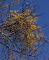 <花鳥風月・407(最終回)>ホザキヤドリギ(穂咲寄生木)