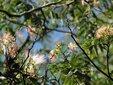 <新 花鳥風月・28>ねむの木(合歓の木)
